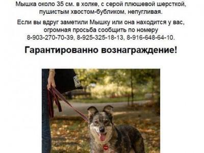 Пропала собака Мышка!